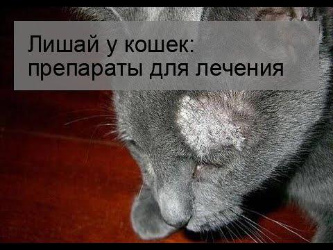 Лишай у кошек и котов