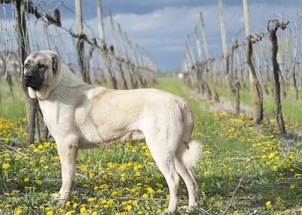 Собака кангал — описание породы, особенности дрессуры и ухода за собакой (145 фото)