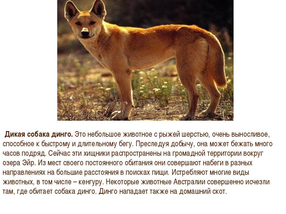 Динго – собака австралии, которая одичала. описание и фото собаки динго