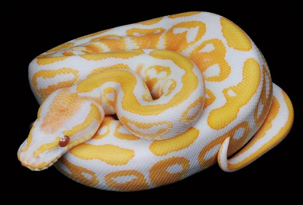 Королевский питон, или шаровидный питон | мир животных и растений