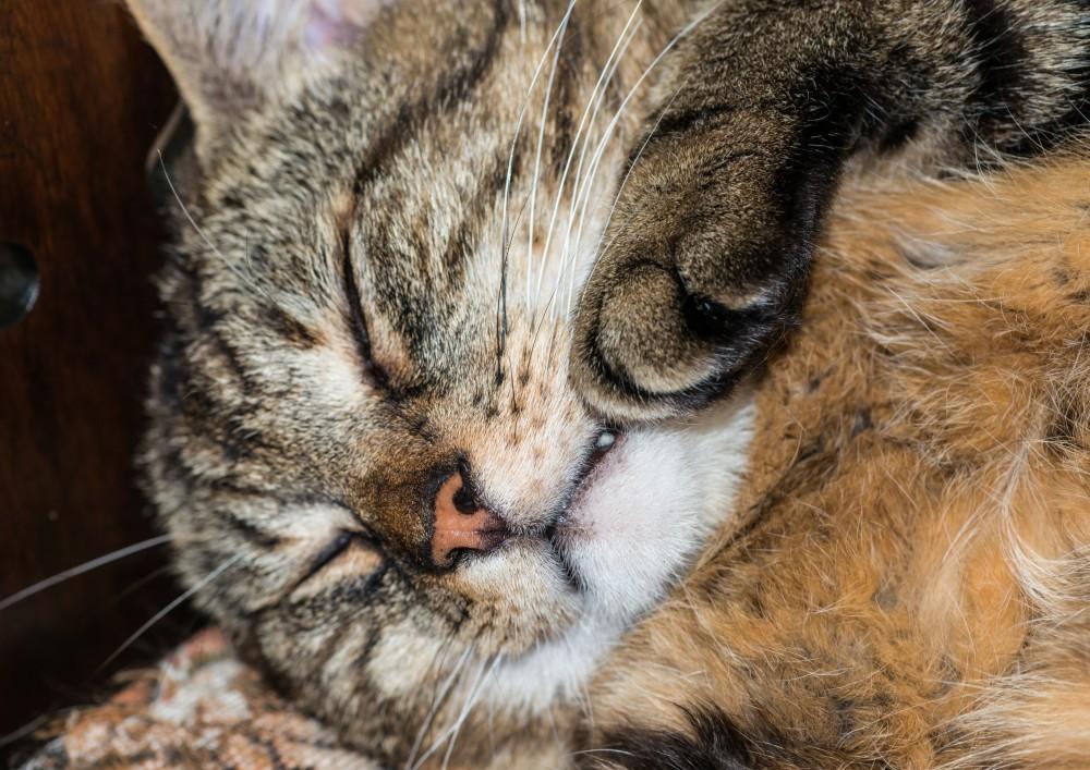 У кошки повысилась температура - что делать? | симптомы высокой температуры у кошек