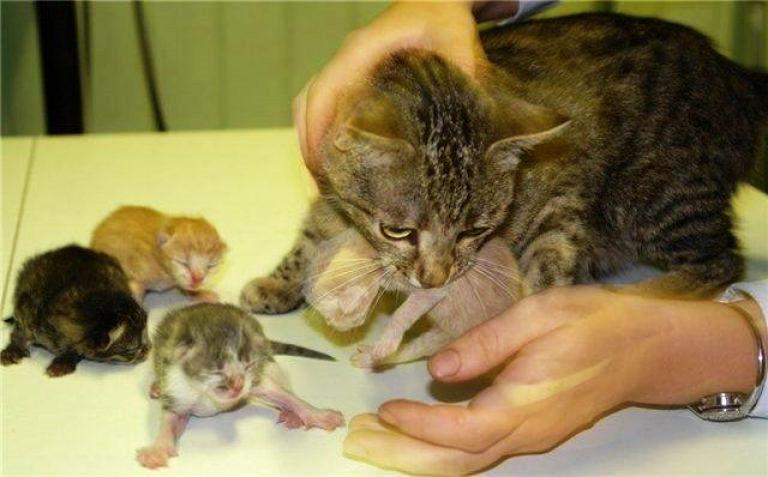 Как часто нужно «глистогонить» котенка или взрослую домашнюю кошку для профилактики, сколько таблеток можно давать?