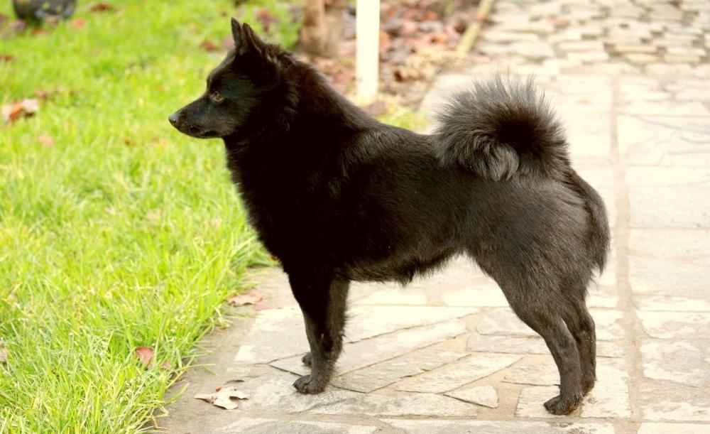 Самая маленькая бельгийская овчарка шипперке: фото, описание и стандарты породы миниатюрных пастушьих собак