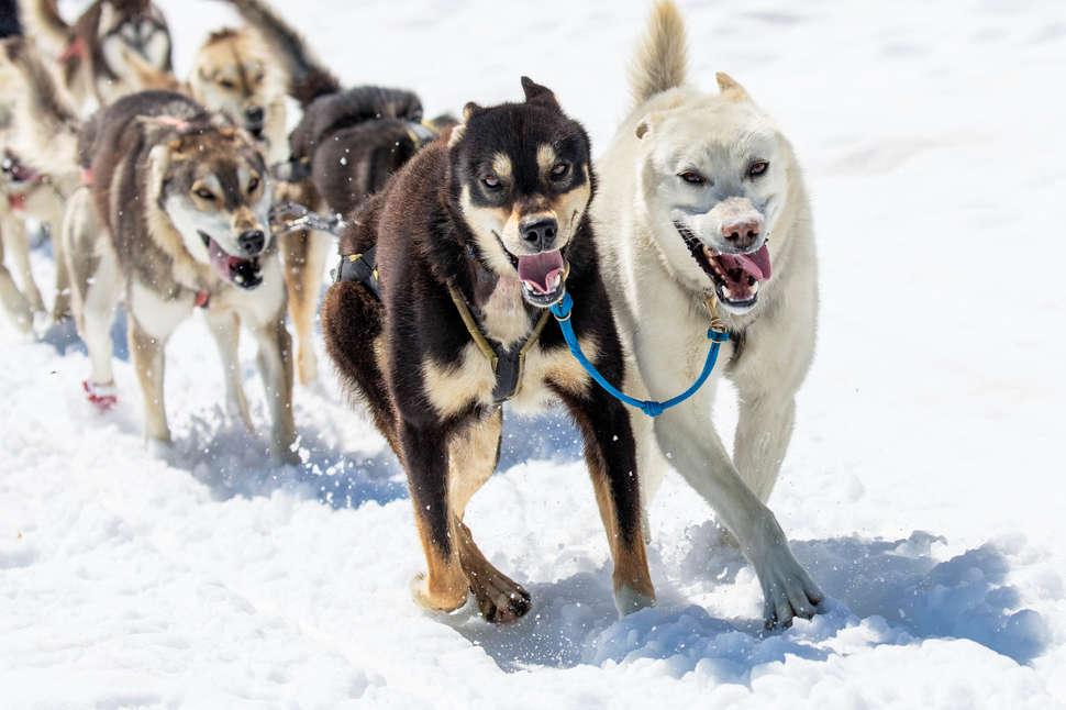 Ездовые собаки: породы, фото, питомник