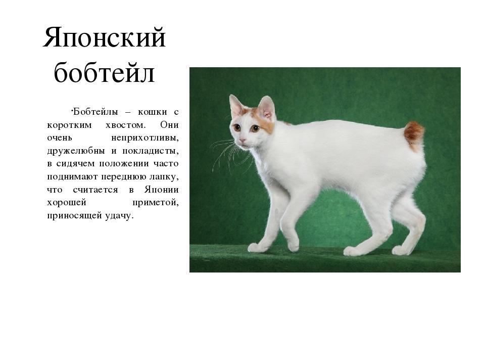 Кошки бобтейл (31 фото): характеристика котов и котят породы бобтейл, описание меконгской и карельской, тайской и других разновидностей