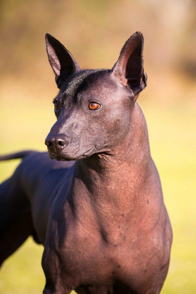Ксолоитцкуинтли (мексиканская голая собака): описание, характеристика породы