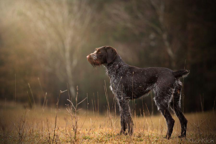 Дратхаар: описание породы, уход, фото собак