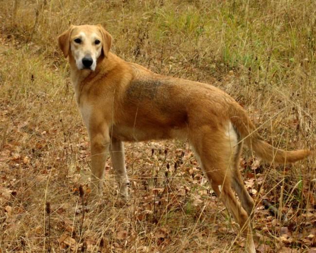 Русская гончая — фото, описание и особенности породы собак