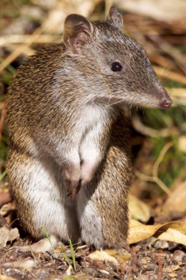 Большой билби. вид: macrotis lagotis = кроличий бандикут, билби. кроличий бандикут, ушастый сумчатый барсук, обыкновенный билби. малый кроличий бандикут. thylacomyidae = кроличьи бандикуты