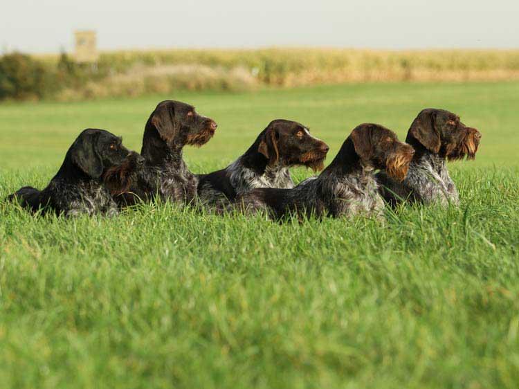 Дратхаар: 115 фото, отличительные черты и особенности ухода за породистой собакой