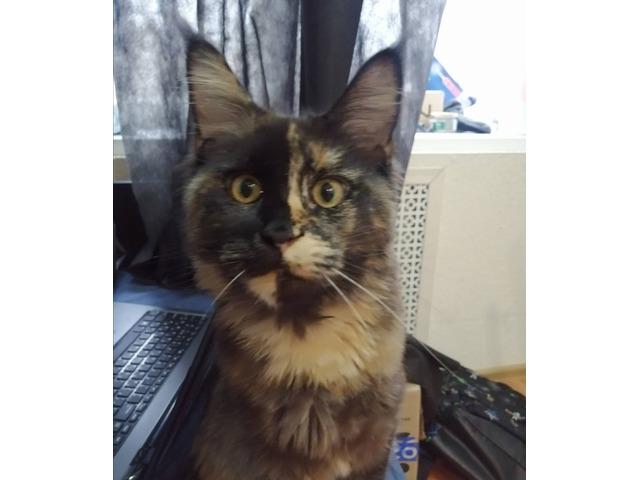 Британская пятнистая порода кошек