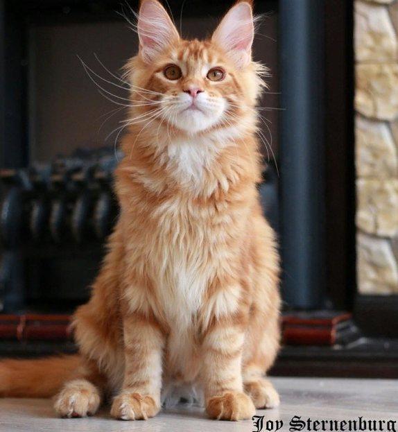 Какая порода кошек самая умная и преданная?