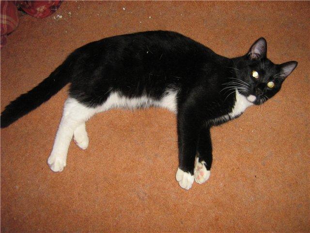 Порода кошек белого цвета с черными пятнами