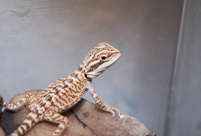 Бородатая агама ящерица. описание, особенности, образ жизни и среда обитания агамы