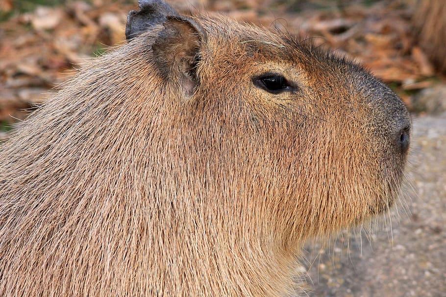 Капибара — самый большой грызун, как выглядит, что ест, можно ли содержать в домашних условиях и другие интересные факты