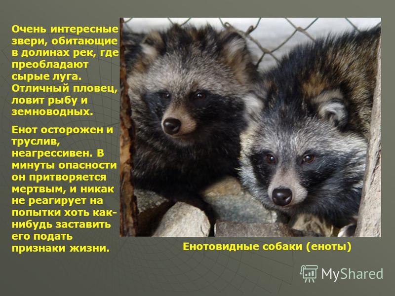 Енотовидная собака в домашних условиях: фото и описание, питание и повадки :: syl.ru