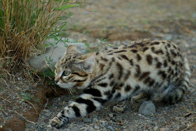 Африканская дикая кошка черноногий кот