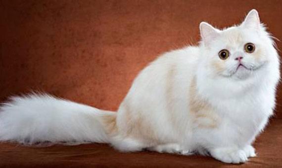 Порода кошек наполеон, или менуэт: фото, описание стандартов, окрасы, характер