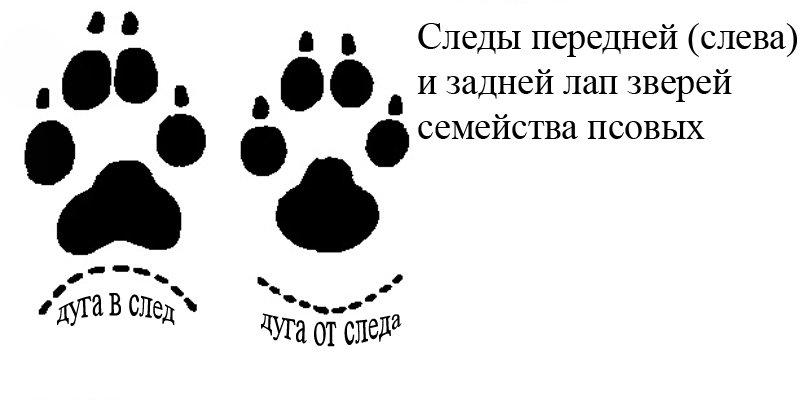 Собачьи и волчьи следы. характеристика следов животных: собаки, росомахи и ласки