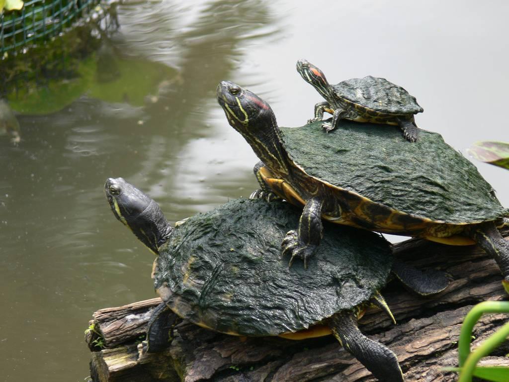 Черепаха красноухая: уход в домашних условиях, содержание, что едят, фото