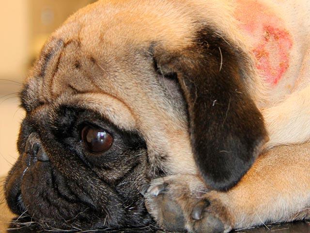 """Дископатия у такс, или почему собаку резко парализовало   блог ветклиники """"беланта"""""""