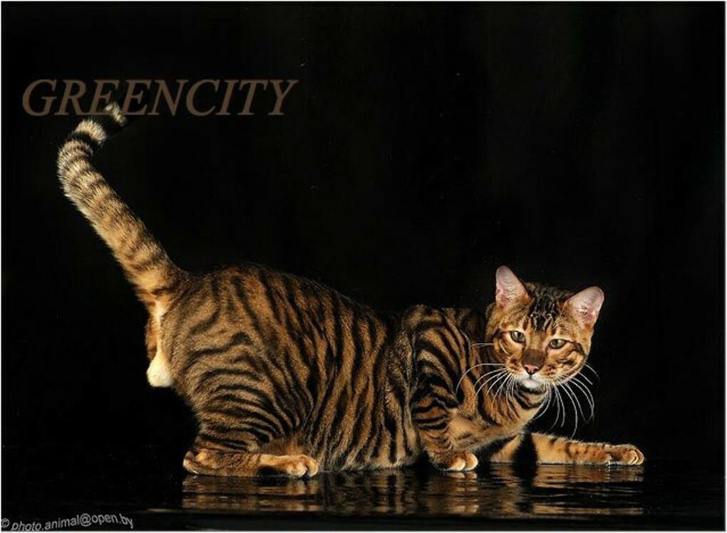 Кошка породы тойгер (100 фото): интересные факты о породе, рекомендации по содержанию