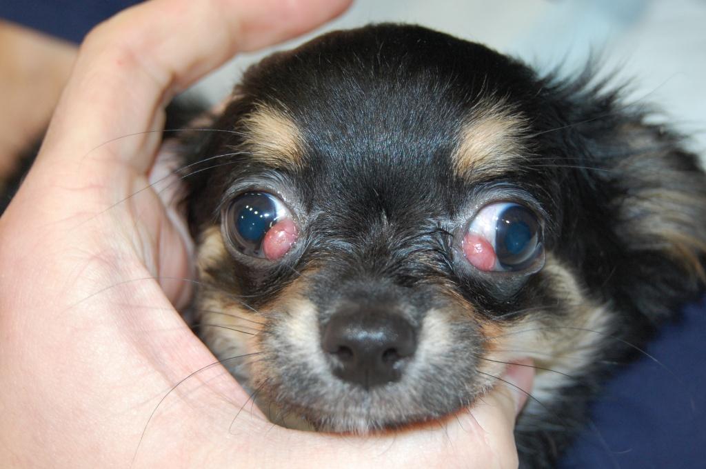 Выпадение глазного яблока у собаки