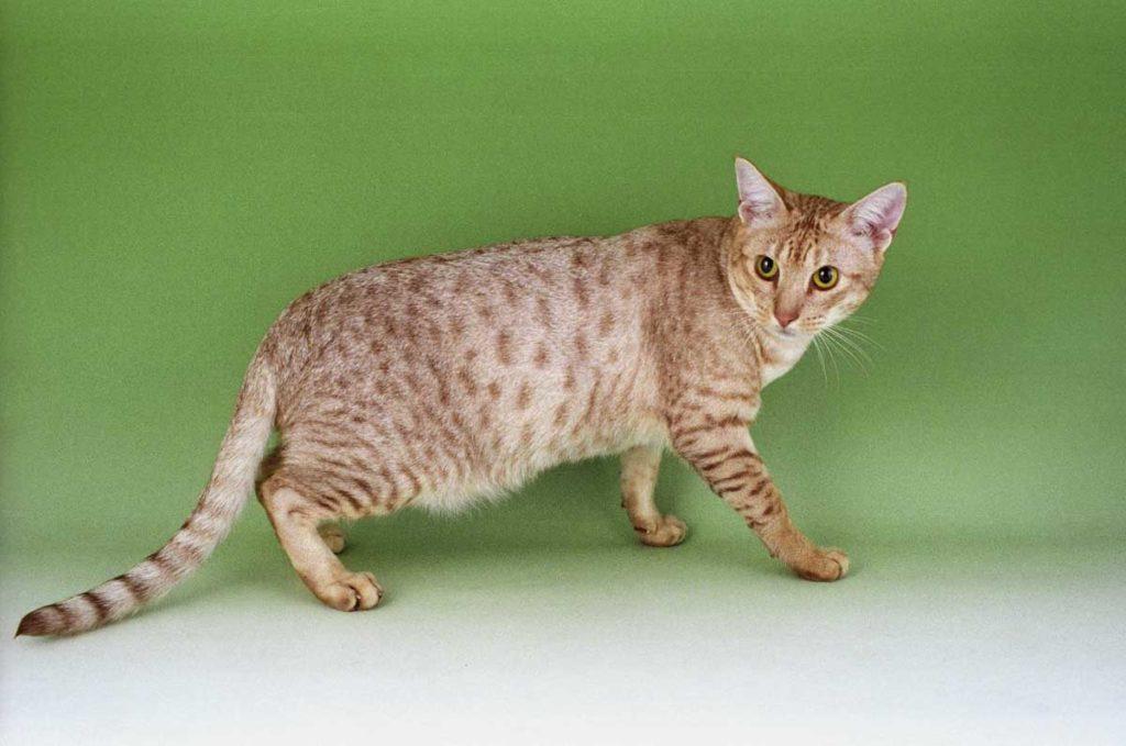 Порода кошек оцикет: описание и уход