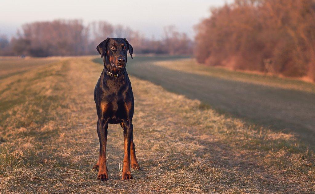 Доберман (72 фото): щенки породы доберман-пинчер, характеристика и описание собак, характер и отношения с детьми, отзывы владельцев