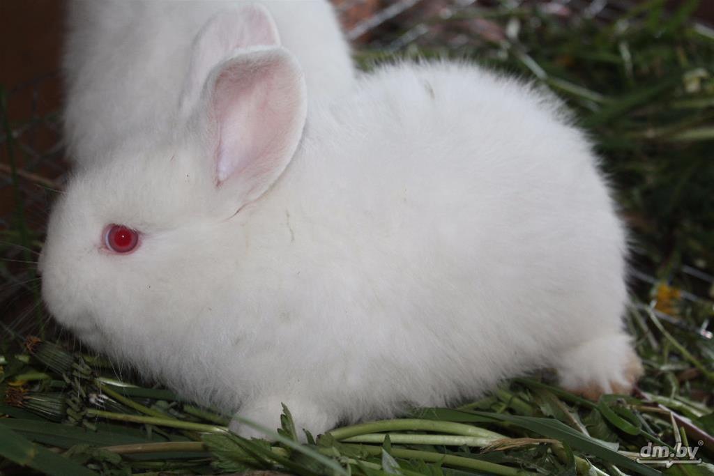 Новозеландский красный кролик: описание породы и фото