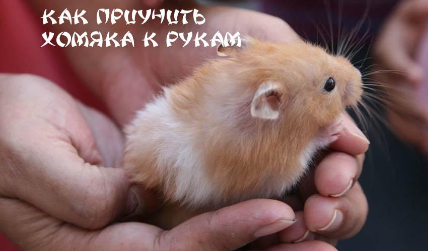 ᐉ как приучить хомяка к рукам, приручение джунгарских и сирийских хомячков - zoopalitra-spb.ru
