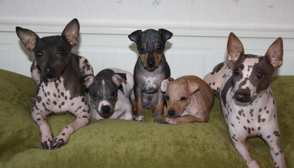 Американский голый терьер: характеристики породы собаки, фото, характер, правила ухода и содержания