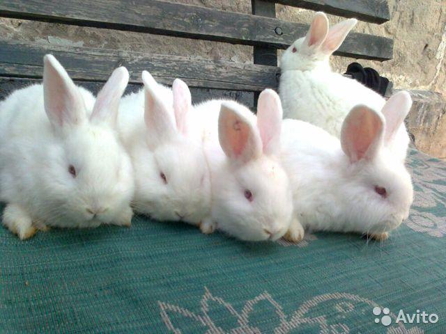 Порода кроликов новозеландские