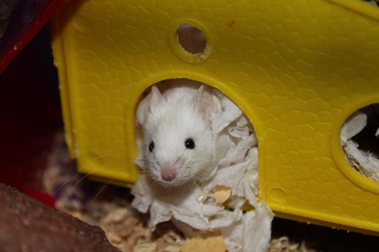 Как ухаживать за мышкой в домашних условиях. декоративные мышки. виды диких мышей