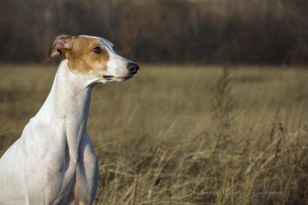 Хортая борзая собака. описание, особенности, виды и цена породы   живность.ру