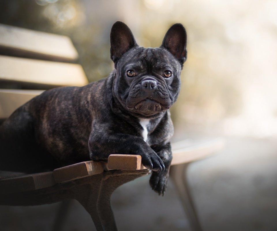 Окрас французского бульдога – черный, белый, тигровый и другие. что влияет на цвет шерсти и как выбрать щенка?