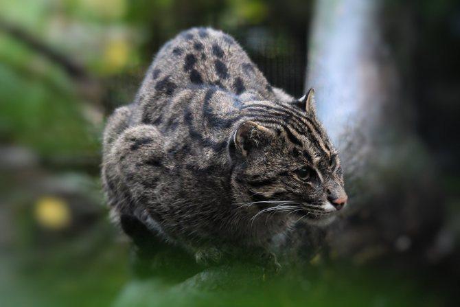 Кот-рыболов - виверровый кот: описание, фото, уход, характер, цена - kisa.su