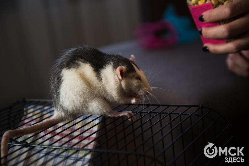 Домашняя крыса – основные виды, плюсы и минусы грызуна, интересные клички