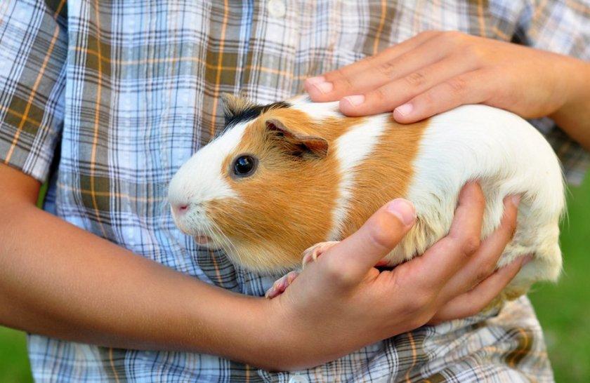 Полезный рацион морской свинки в домашних условиях: как и чем кормить питомца