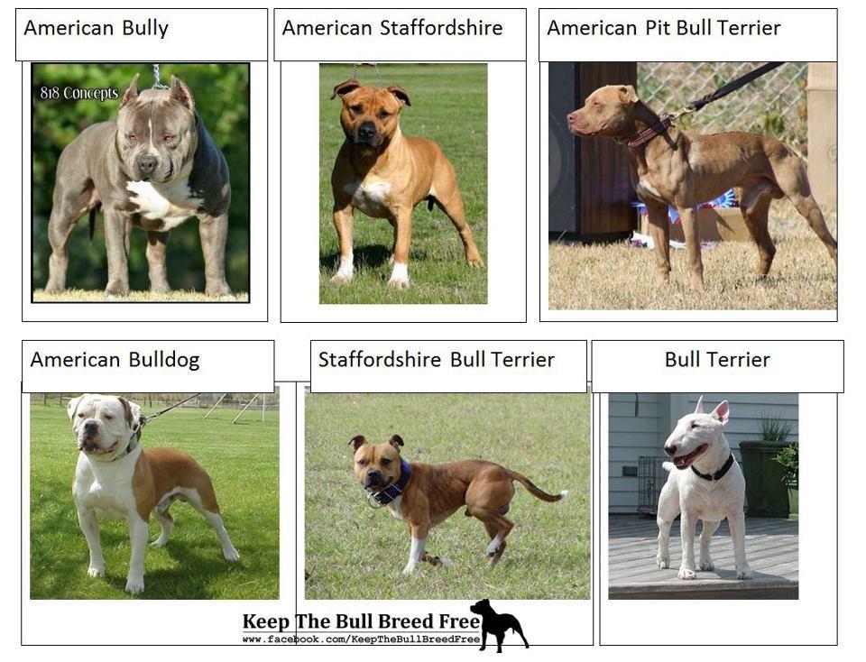 Отличия питбулей от стаффордширских терьеров (31 фото): разница в характере. чем собаки отличаются по внешнему виду?