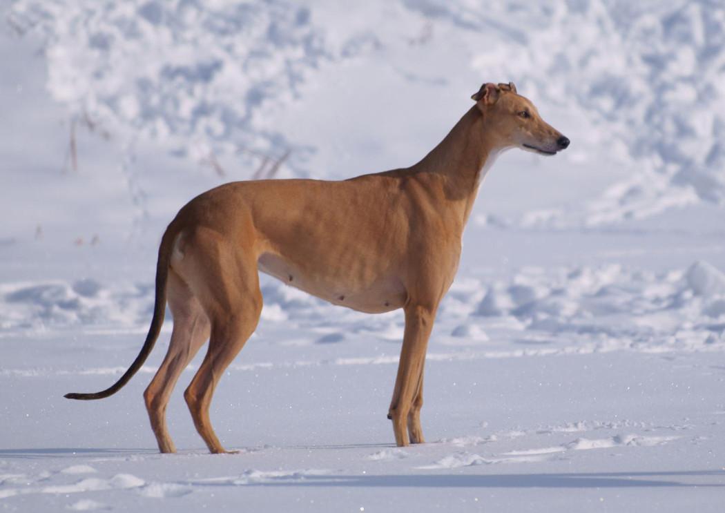 Борзые собаки: история происхождения, виды, краткое описание