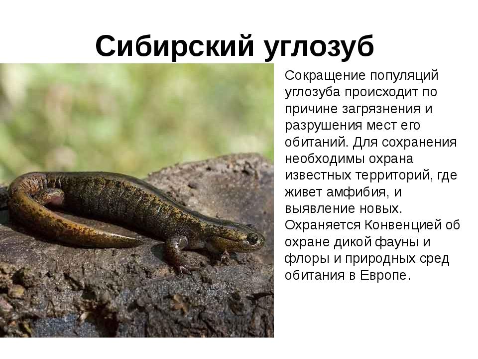 Сибирский углозуб – холоднолюбивый тритон. сибирские углозубы – мелкие многочисленные тритоны сибирский углозуб интересные факты