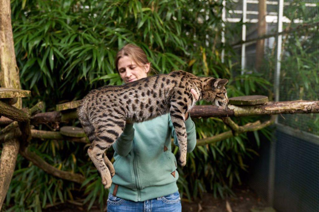 Самые большие домашние кошки: фотографии с названиями 10 наиболее крупных пород в мире