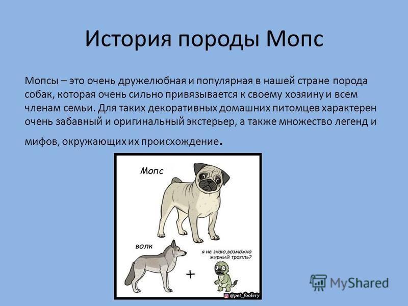 Уход за мопсом: как ухаживать за щенков и взрослой собакой в квартире? питание, правила прогулки. воспитание мопсов в домашних условиях