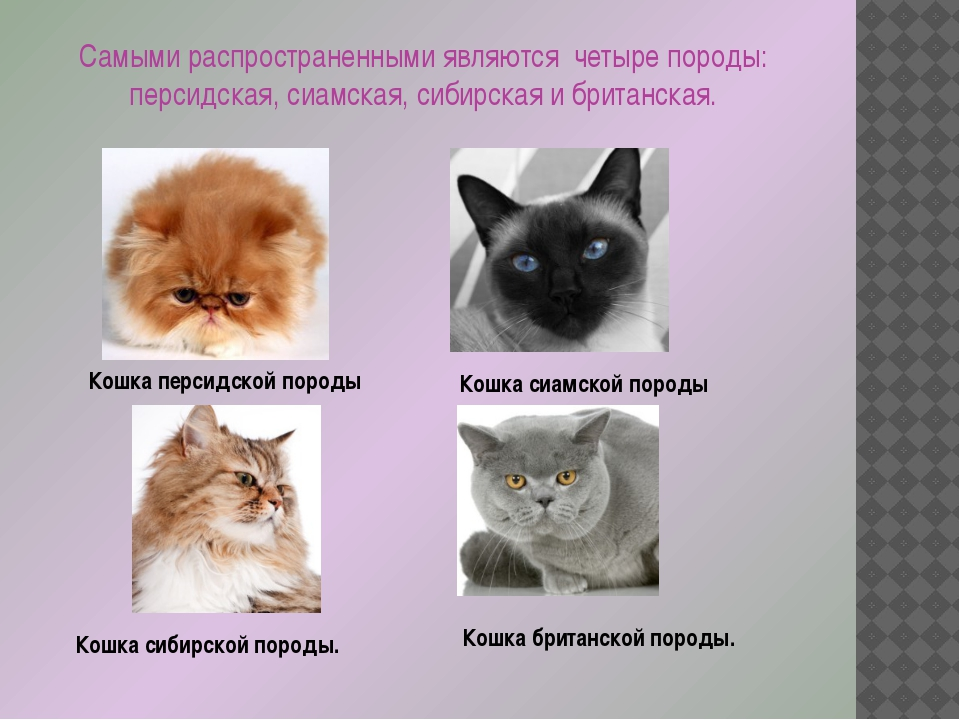 Сомалийская кошка — главные достоинства этого вида кошек, темперамент и особенности характера в обзоре!