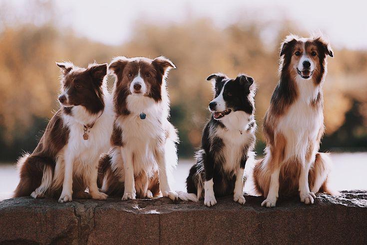 Бордер колли: описание породы, цена щенка