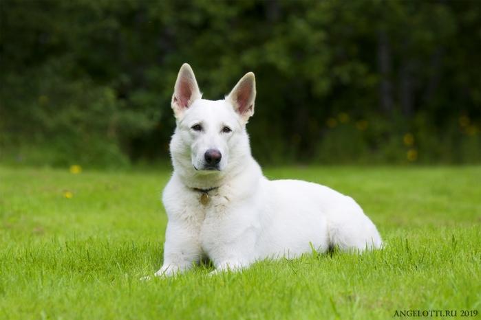 Швейцарская белая овчарка: фото, описание породы, отзывы