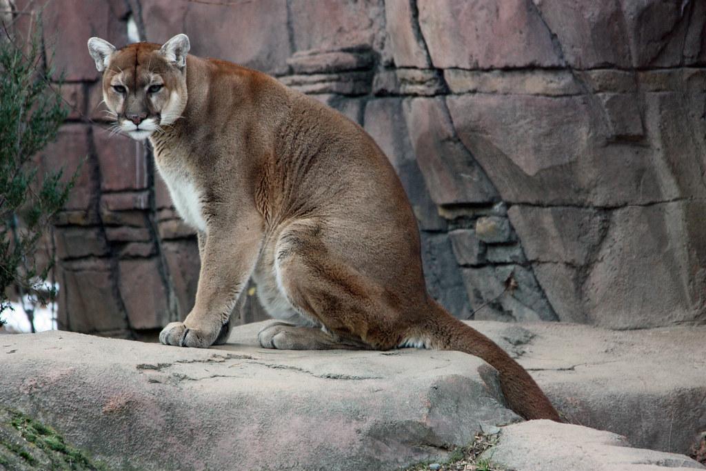 Абиссинская кошка — топ-15 фактов о породе кошек. история выведения, сколько живет, чем питается, как уживается с другими животными (120 фото)