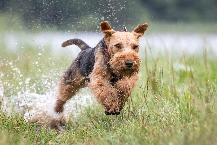 Характеристика собак породы эрдельтерьер с отзывами и фото