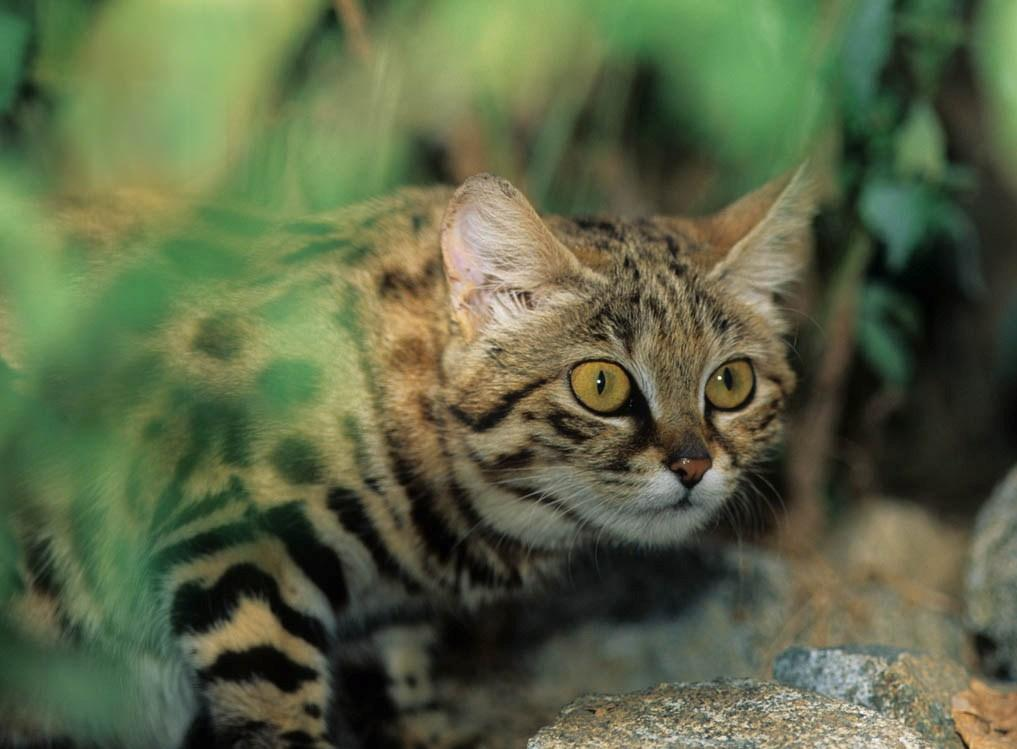 Описание африканской черноногой кошки с фото: характер, среда обитания, содержание в домашних условиях
